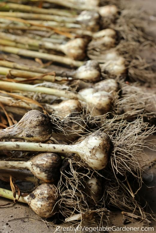 Grow Garlic - fall gardening tips